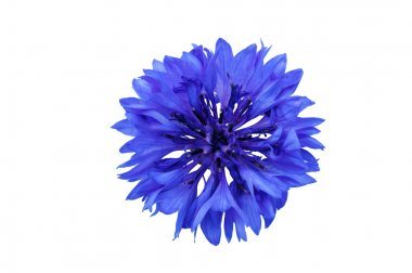 Cornflower blue on a white background