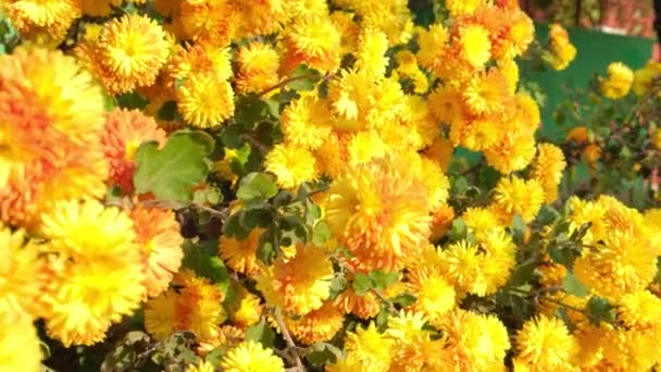 beautiful yellow and orange flowers, chrysanthemums in the autumn sun.