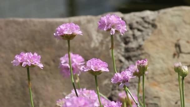 růžové květy na pozadí kamenů a rybník