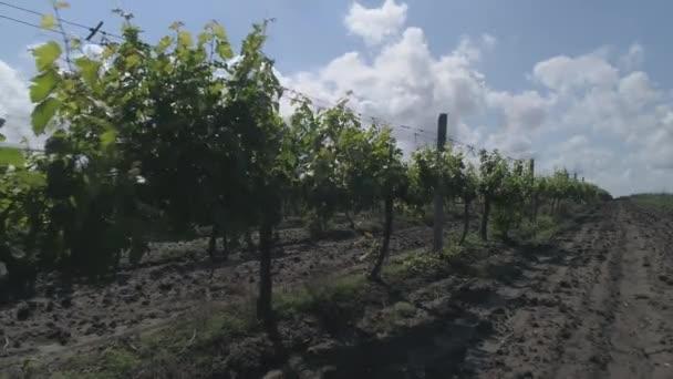 Pomalé záběry řádků vinice