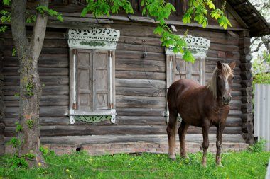 Peasant bay horse is grazed near a old rustic log farmhouse