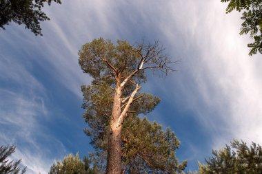 pine giantess