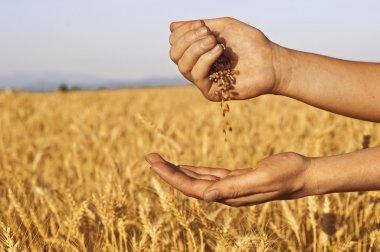 Quickly run of wheat seeds between hands