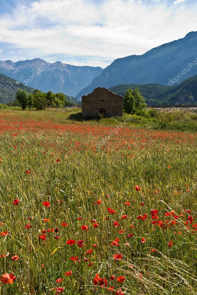 poppy field in Provence