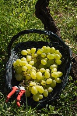 Malvasia grape harvest