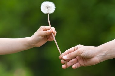 two hands, child and women, holding together a dandelion on blur