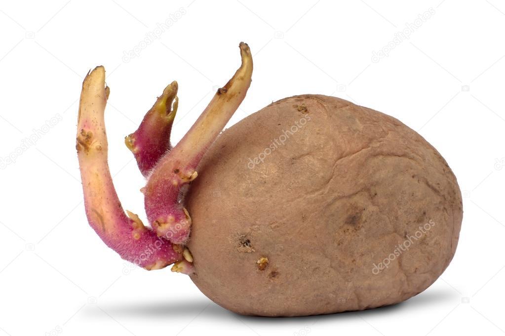 Tubercule de pomme de terre avec des germes sur blanc photographie rodimovpavel 92737616 - Ou trouver des caisses u00e0 pommes ...
