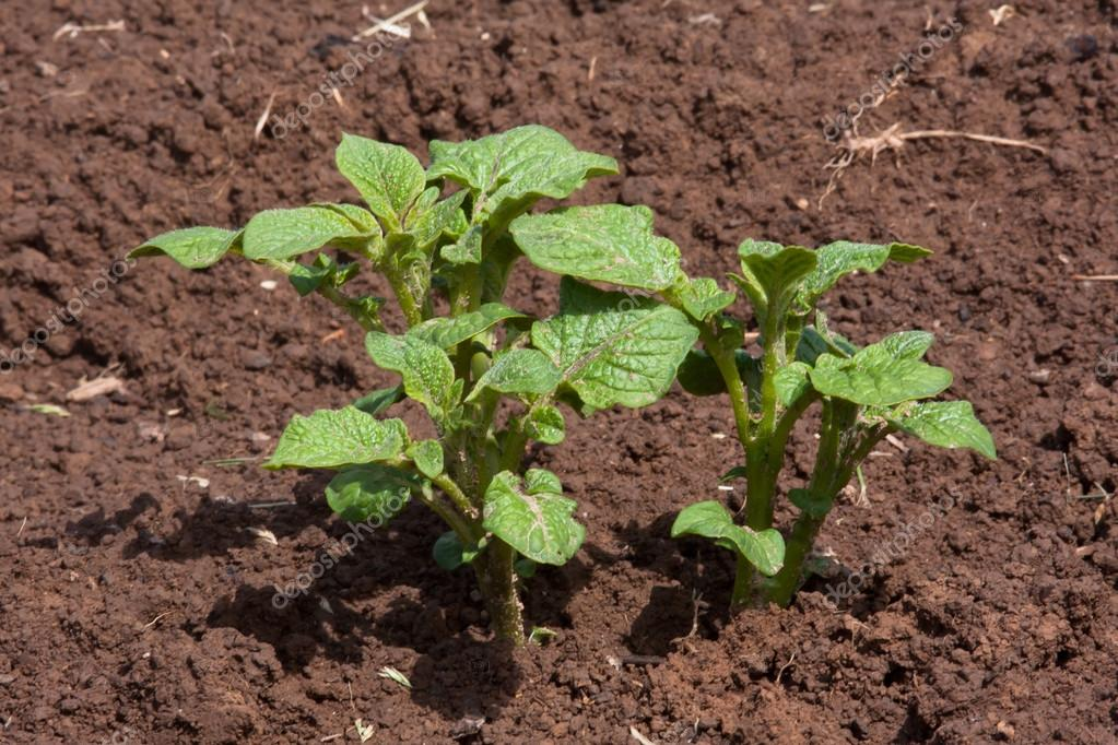 young potato plant growing in the vegetable garden stock. Black Bedroom Furniture Sets. Home Design Ideas