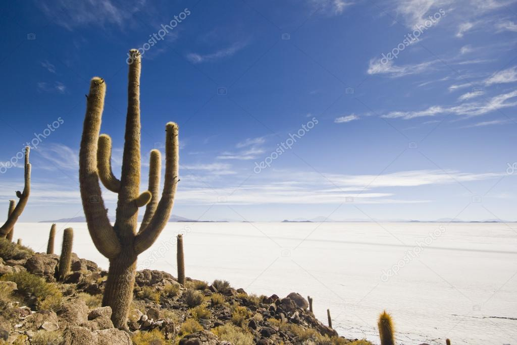 big cactus above salar de uyuni