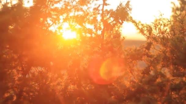 jalovce v západu slunce