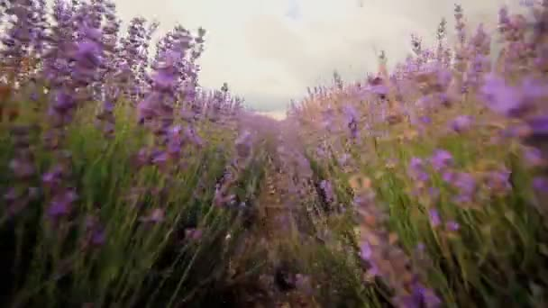 Levandule květiny close-up