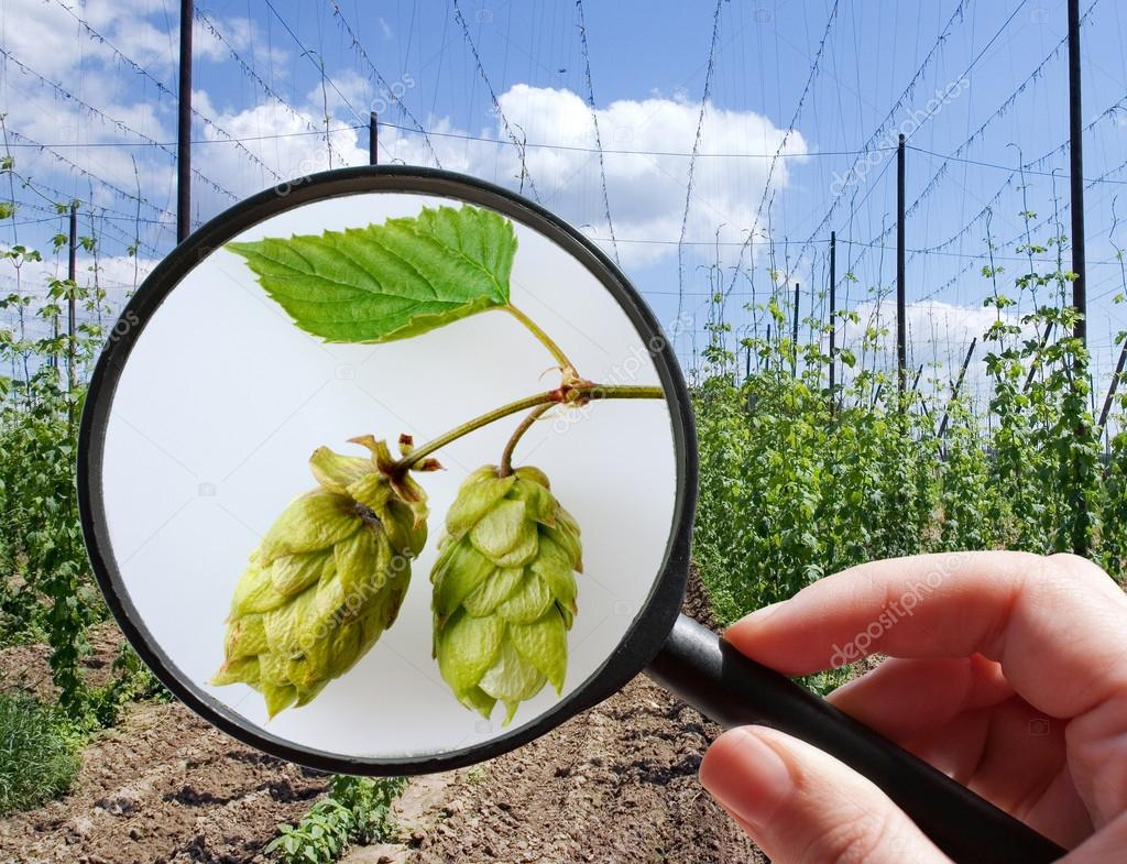 Humulus lupulus in hop garden - czech agriculture - ecological f