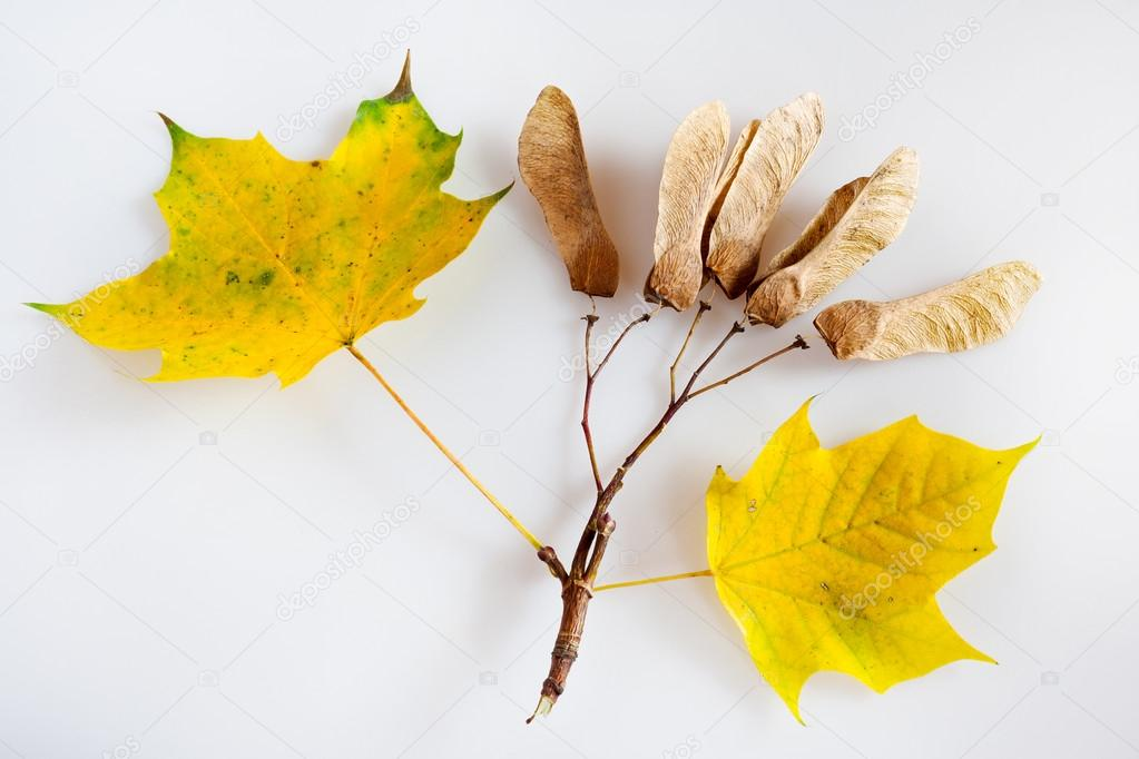 Usureros, lerdos e indecentes. La silenciosa y gran mordaza del Oeste [Moderado Nivel 4 - Kaito] Depositphotos_89331394-stock-photo-yellow-maple-leaf-with-ripe