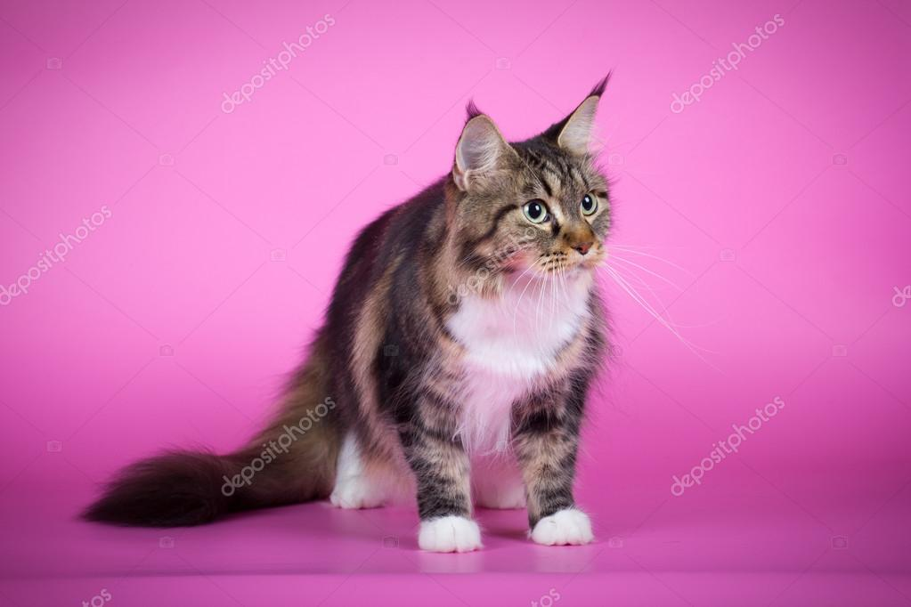 Cat breeds Maine Coon on a pink background