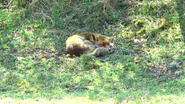 Egy alvó vörös róka a fűben a fejével a farkán..
