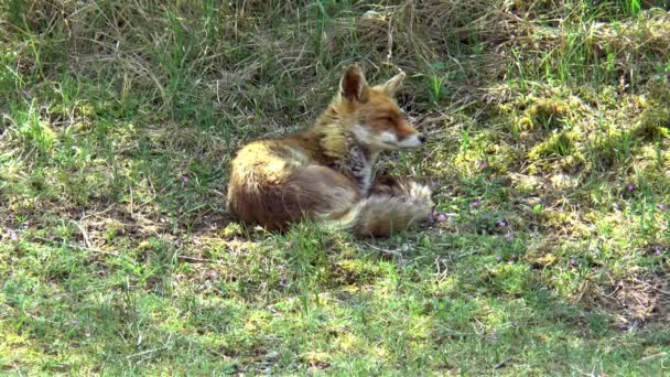A lazy red fox lies in the grass and looks around.