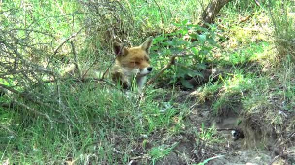 A red fox is lying in the grass.