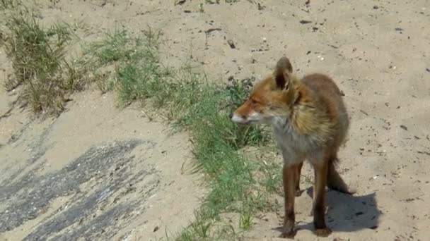 A standing red fox looks around.