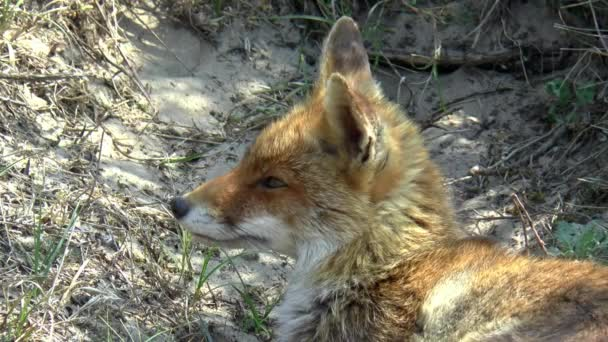 Close up of a lying red fox in the dunes.
