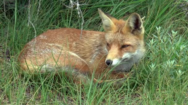 Red fox resting in the tall grass.
