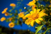 Rovarok Raj napraforgó pollen