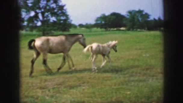 little horse playing with mother horse