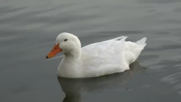 White Duck Swimming