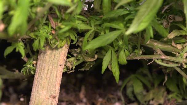 Medizinisches Marihuana-Pflanze