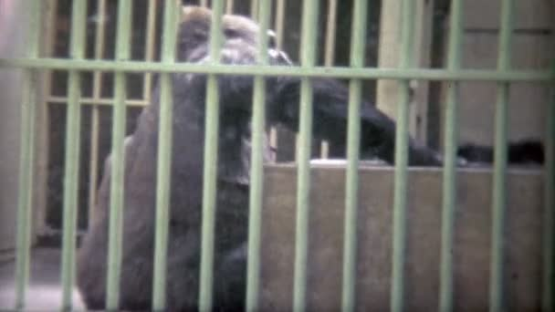 gorilla trapped in school zoo cage