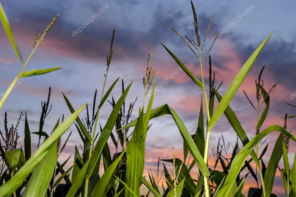 Leaves and tops of corn close up on a farmer's field on the background of the morning sky