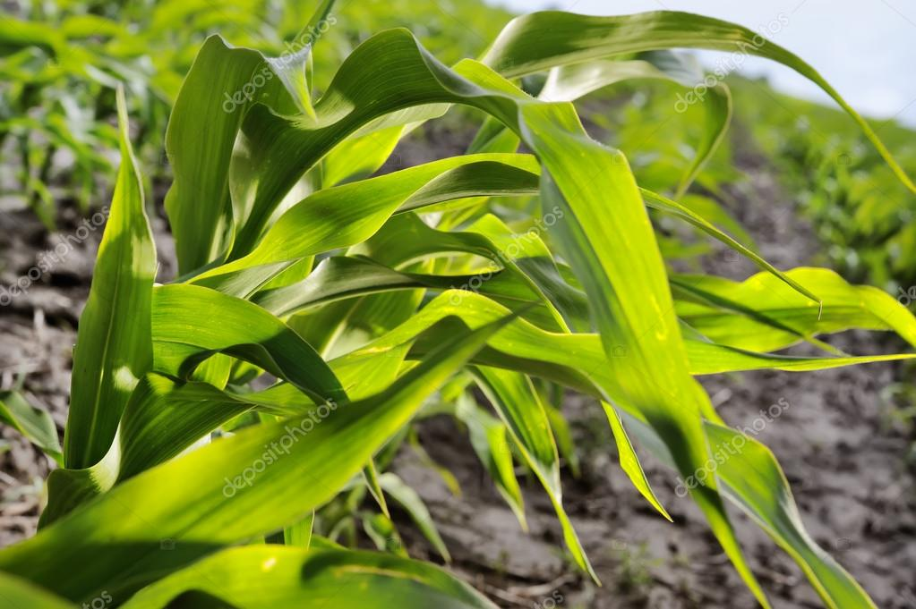 Young corn leaves close-up at the farmer's field.