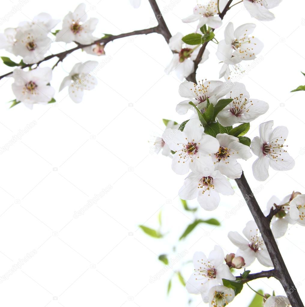 flowers cherr