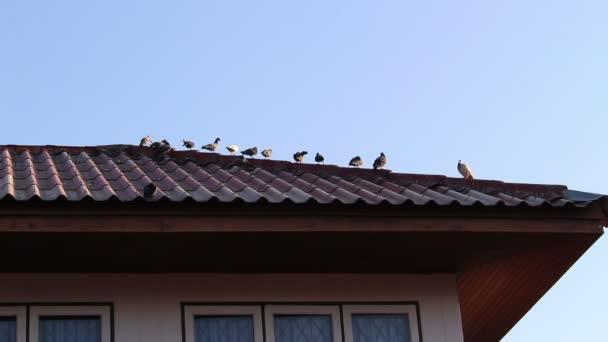 holuby na střeše