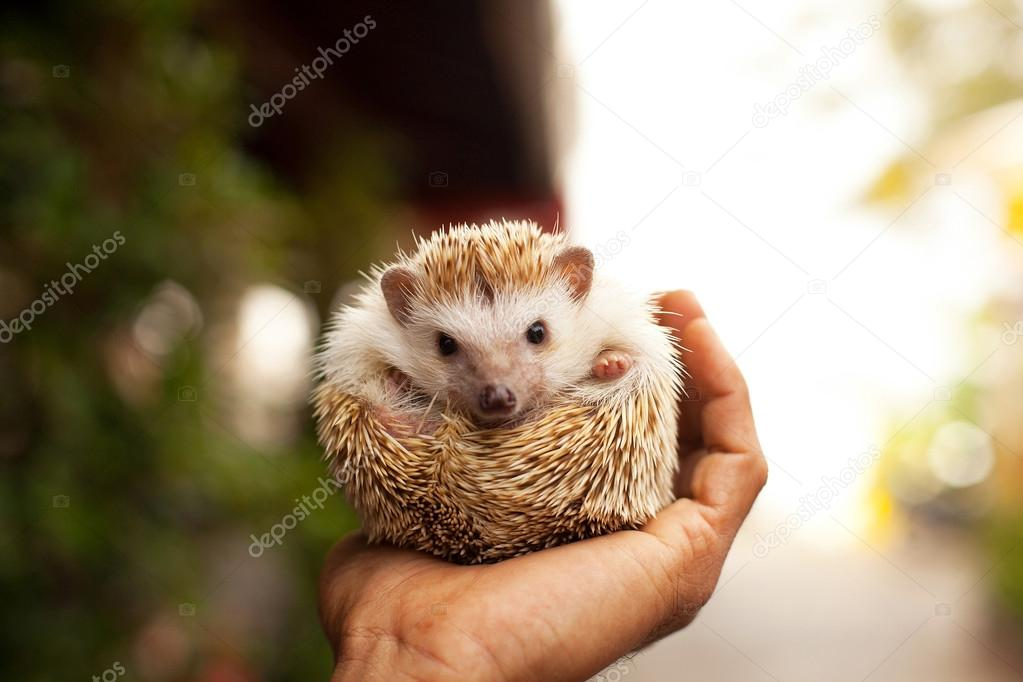 Little hedgehog in the palm