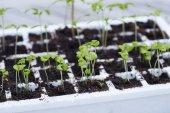 Fotografie Seedling plants growing in pots