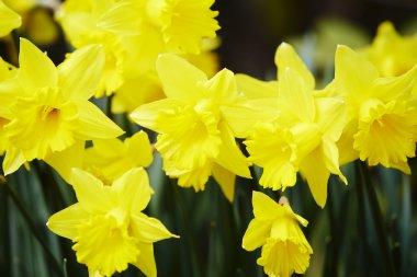bright yellow daffodils in garden