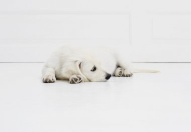Resting white puppy dog