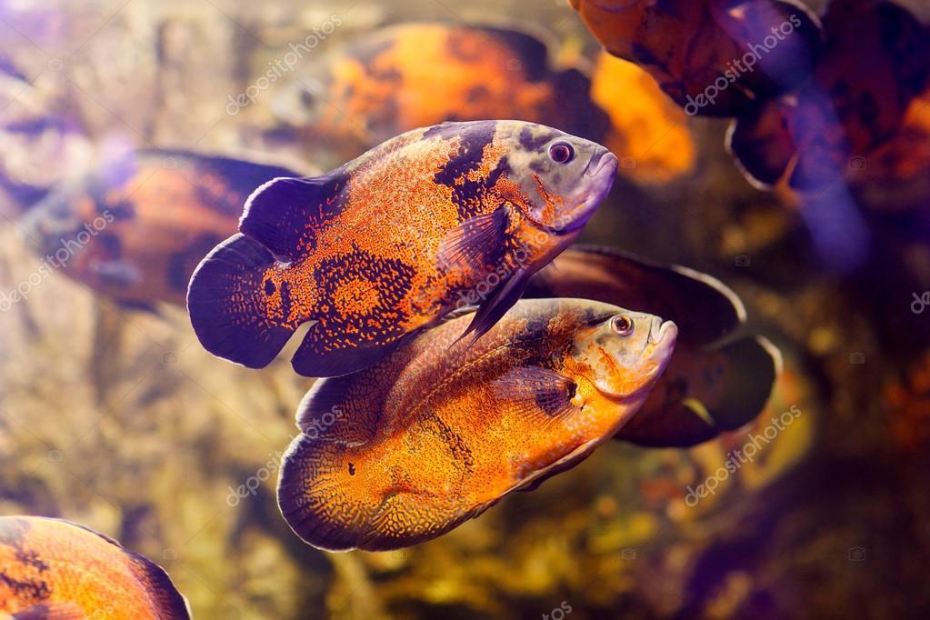 Two Oscar fish (Astronotus ocellatus) swimming underwater