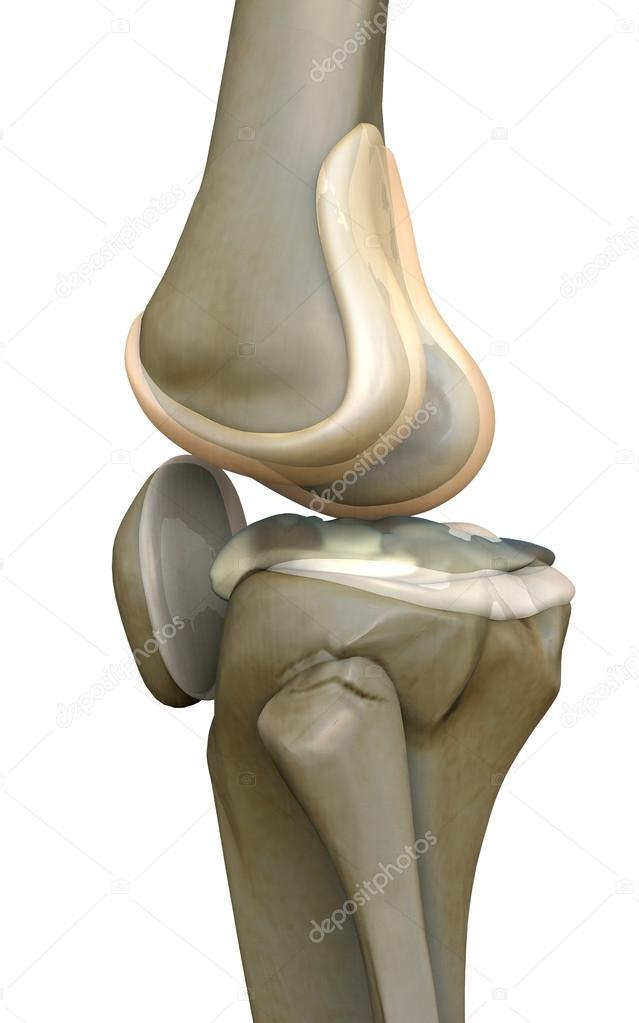 Knee, human bone