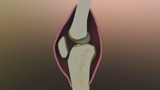 Bone, knee