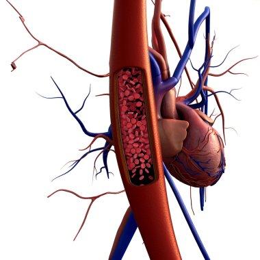 Artery, erythrocyte