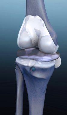 Knee human bone