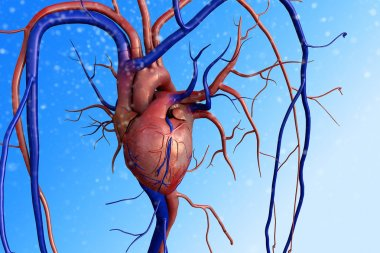 Human heart model, Human Heart Anatomy, Artery, artery shown with a cut out section, High quality rendering with original textures and global illumination, Contraction of blood vessels stock vector