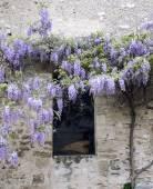 Fotografia Glicine di fioritura sulla parete antica