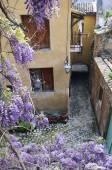 Blühende Glyzinien auf der Straße von französischen Dorf