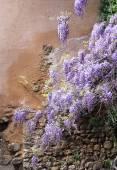 Fotografia Vite di glicine viola a cascata