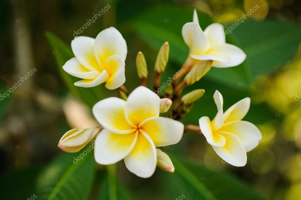 White and yellow Plumeria frangipani flowers  on bright sunlight.