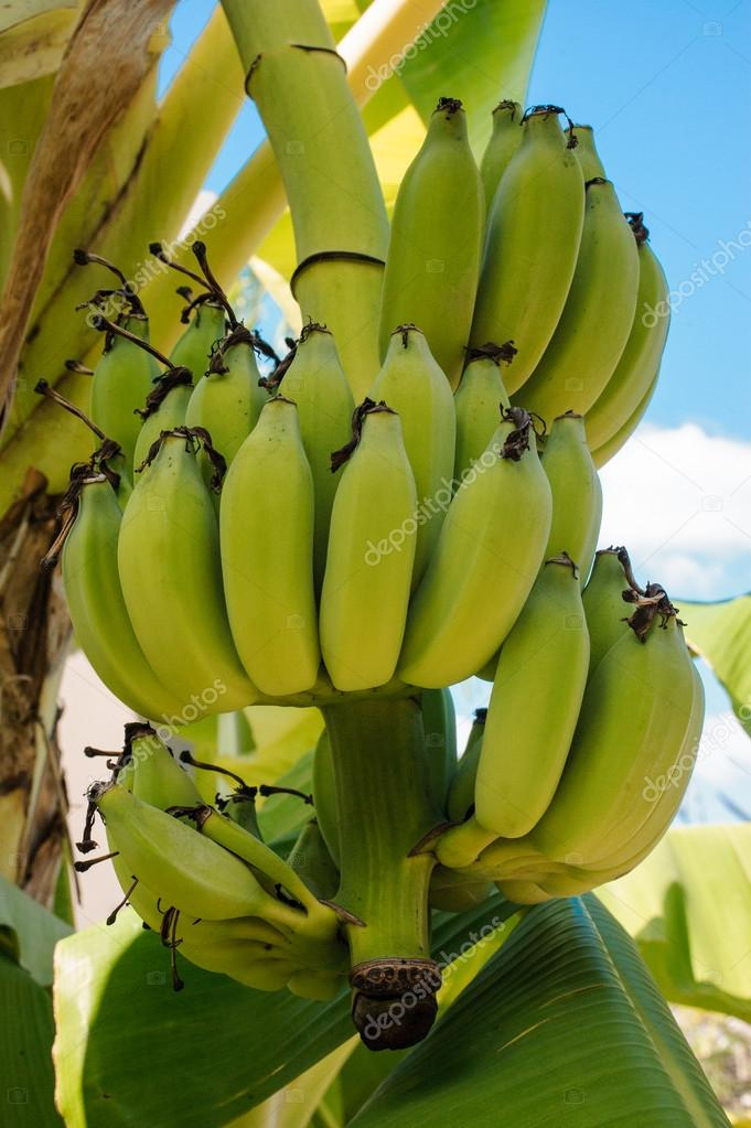 Banana tree with bunch of bananas stock photo fesenko for Albero di banane