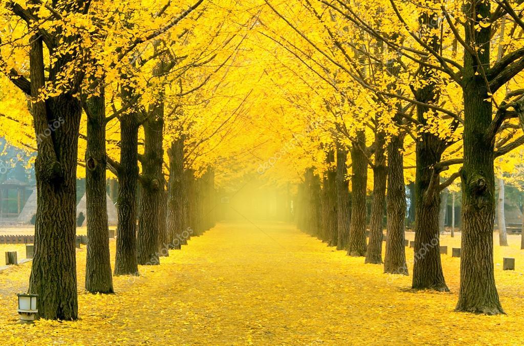 Wiersz Drzewa żółte Ginkgo W Nami Wyspa Korea Zdjęcie
