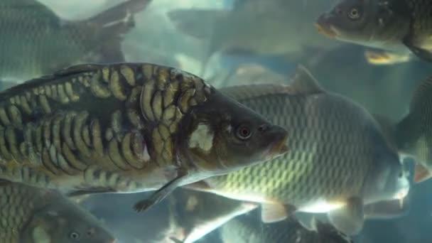 Velký kapr plave v akváriu zblízka.